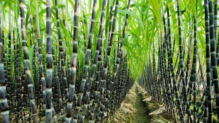 Sugarcane cultivated on a farmland